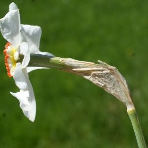 Photographie n°823721 du taxon Narcissus poeticus subsp. poeticus