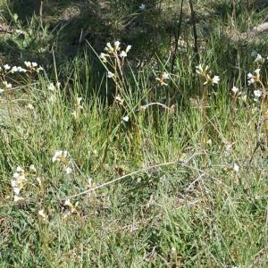 Photographie n°823736 du taxon Saxifraga granulata L.