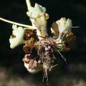 Photographie n°823738 du taxon Saxifraga granulata L.