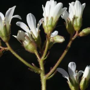 Photographie n°823741 du taxon Saxifraga granulata L.