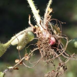 Photographie n°823755 du taxon Saxifraga granulata L.
