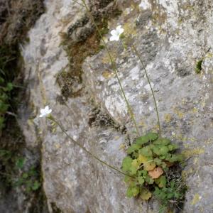 Photographie n°823767 du taxon Saxifraga granulata L.