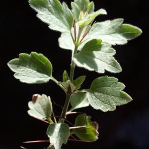 Photographie n°825710 du taxon Ballota frutescens (L.) J.Woods