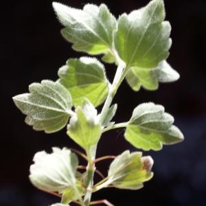 Photographie n°825713 du taxon Ballota frutescens (L.) J.Woods
