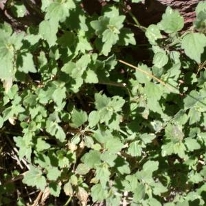 Photographie n°825716 du taxon Ballota frutescens (L.) J.Woods