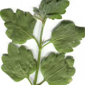 Photographie n°825723 du taxon Ballota frutescens (L.) J.Woods
