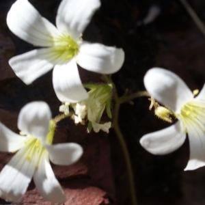 Photographie n°825763 du taxon Saxifraga granulata L.