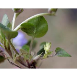 Viola rupestris F.W.Schmidt (Violette des rochers)