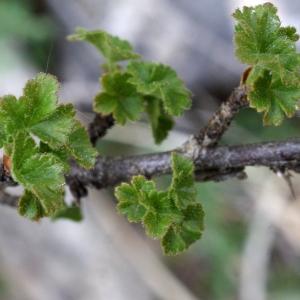 Photographie n°826158 du taxon Ribes uva-crispa L. [1753]