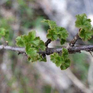 Photographie n°826161 du taxon Ribes uva-crispa L. [1753]