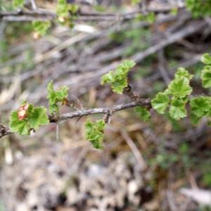 Photographie n°826162 du taxon Ribes uva-crispa L. [1753]