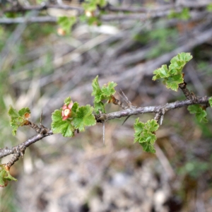 Photographie n°826163 du taxon Ribes uva-crispa L. [1753]