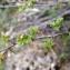 Liliane Roubaudi - Ribes uva-crispa L. [1753]