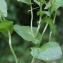 Liliane Roubaudi - Lepidium latifolium L. [1753]