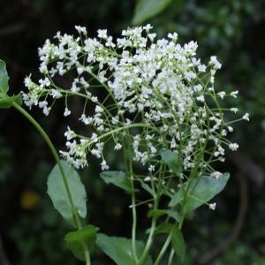 Photographie n°826244 du taxon Lepidium latifolium L.