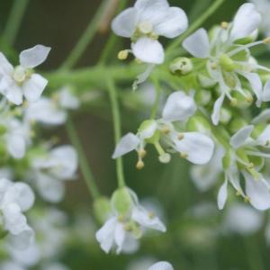 Photographie n°826259 du taxon Lepidium latifolium L.