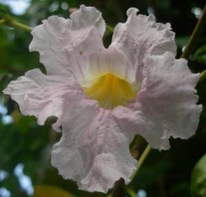 Krol  AS, le 21 juillet 2016 (Martinique (la trinité))