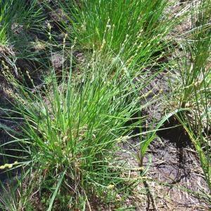 Photographie n°827345 du taxon Carex canescens L. [1753]