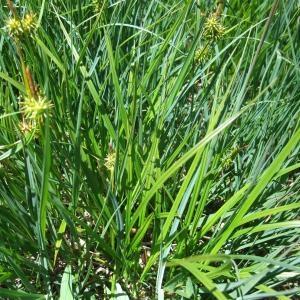Photographie n°827354 du taxon Carex flava L. [1753]