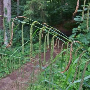 Photographie n°827427 du taxon Carex pendula