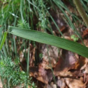 Photographie n°827434 du taxon Cephalanthera rubra (L.) Rich. [1817]