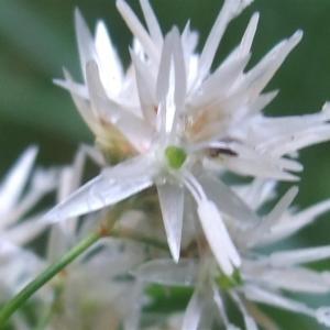 Photographie n°827528 du taxon Luzula nivea (Nathh.) DC. [1805]