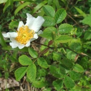 Photographie n°827563 du taxon Rosa arvensis Huds. [1762]