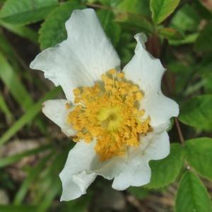 Photographie n°827564 du taxon Rosa arvensis