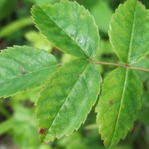 Photographie n°827565 du taxon Rosa arvensis