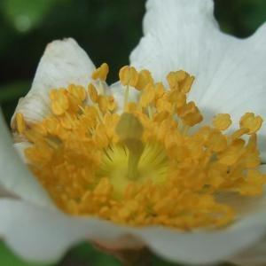 Photographie n°827567 du taxon Rosa arvensis