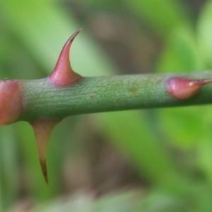 Photographie n°827569 du taxon Rosa arvensis