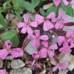 Photographie n°827691 du taxon Saponaria ocymoides