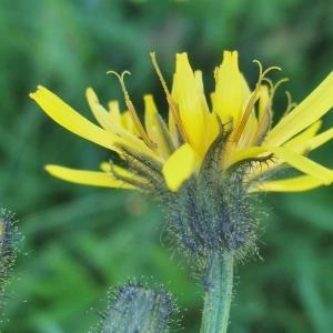 Photographie n°828023 du taxon Crepis paludosa (L.) Moench [1794]