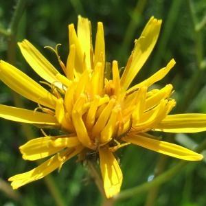 Photographie n°828066 du taxon Crepis paludosa (L.) Moench [1794]