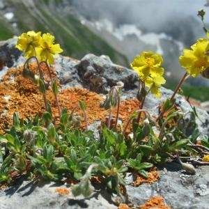 Photographie n°828193 du taxon Helianthemum italicum var. alpestre (Jacq.) Gren. [1848]