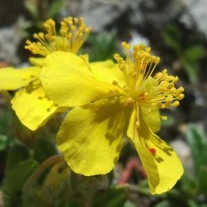 Photographie n°828195 du taxon Helianthemum italicum var. alpestre (Jacq.) Gren. [1848]