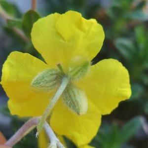 Photographie n°828210 du taxon Helianthemum italicum var. alpestre (Jacq.) Gren. [1848]