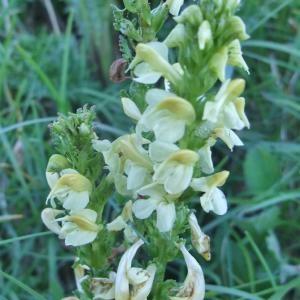 Photographie n°828222 du taxon Pedicularis ascendens Schleich. ex Gaudin [1810]