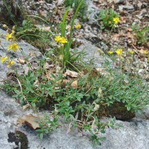 Photographie n°828359 du taxon Helianthemum italicum var. alpestre (Jacq.) Gren. [1848]