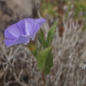 Photographie n°830901 du taxon Convolvulus siculus L.