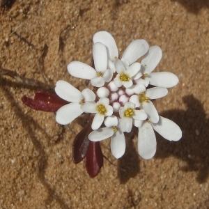 Photographie n°831252 du taxon Iberis L.