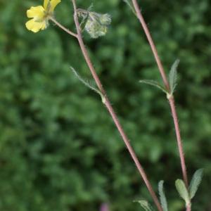 Photographie n°832550 du taxon Helianthemum oelandicum subsp. canum (L.) Bonnier & Layens [1894]