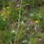 Liliane Roubaudi - Thesium humifusum subsp. divaricatum (Jan ex Mert. & W.D.J.Koch) Bonnier & Layens [1894]