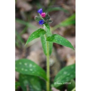 Pulmonaria longifolia (Bastard) Boreau subsp. longifolia (Pulmonaire à feuilles longues)