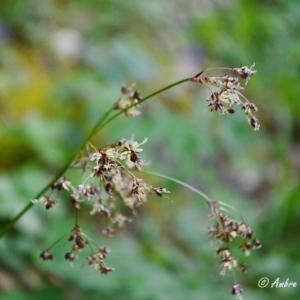 Photographie n°834681 du taxon Luzula alpinopilosa (Chaix) Breistr. [1947]