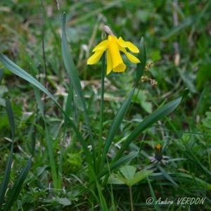 Photographie n°834688 du taxon Narcissus pseudonarcissus L. [1753]