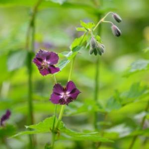 Geranium phaeum L. var. phaeum