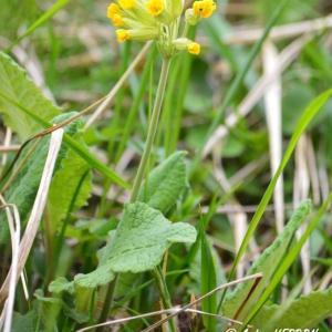 Photographie n°834722 du taxon Primula L. [1753]