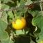 Hugo Santacreu - Solanaceae
