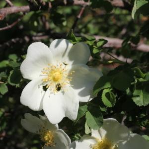 Photographie n°835631 du taxon Rosa canina L. [1753]